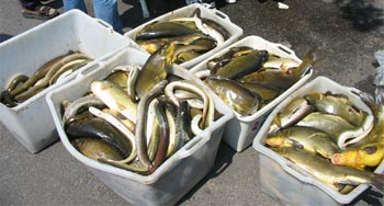 Questo mi disgusta for Grosso pesce di lago