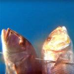Video Pesca Sub: Due Grossi Dentici sulla Sabbia