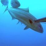 Video Pescasub all'Aspetto: le Ricciole quasi investono il Pescasub