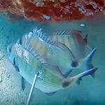 Video Pesca Sub: 3 Grossi Saraghi con 1 Solo Tiro