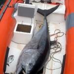 La pesca del Tonno Rosso deve essere riformata