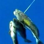 Video pescasub: 3 Cernie Dorate con un solo Tiro!