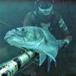 Video Pesca Sub: 4 Grosse Spigole nel Paradiso dei Branzini