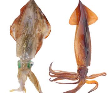 Le 6 Differenze tra Calamaro e Totano
