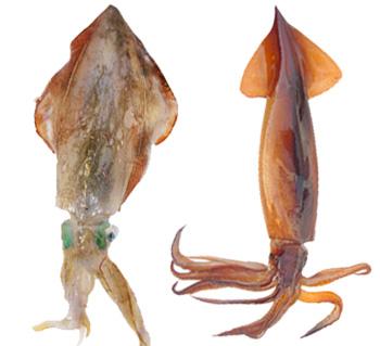 CalamariVSTotani