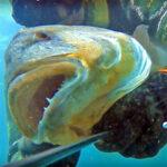 Video Pesca Sub: un Grosso Fantasma nel Torbido (Dentice, 8 kg)