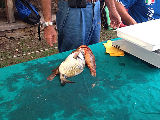 Pesci pes
