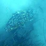 Video Pescasub: La Cernia che Strappa il Fucile al Pescasub