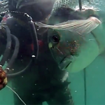 Video pescasub: Grossa Orata all'Agguato