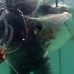 Video pescasub: Grossa Orata all'Agguato (5 kg)