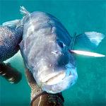 Video Pesca Sub: la Grossa Spigola e l'Asta Spuntata (5,6 kg)