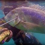 Video Pescasub Dentice: un Mostro di 8 kg Sbucato dal Nulla