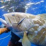 Video Pescasub: Agguato alla Grande Cernia Bianca