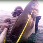 Video Pescasub Spigola: Nel torbido a Bruciapelo