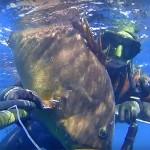 Video Pescasub: la Coppia di Grosse Cernie in Caduta