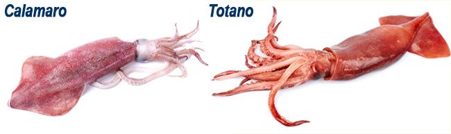 calamaroVStotano colore mantello