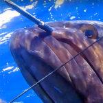 Video Pesca Sub: la Grossa Cernia Scatta, ma il Tiro d'Imbracciata è Quasi Perfetto (14 kg)