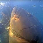 Video Pescasub: il Lungo Agguato alla Grossa Cernia (20 kg)
