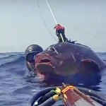 Video Pescasub: la Grossa Cernia immobile davanti alla sua Tana (23 kg)