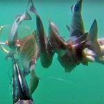 Video Pescasub: 5 Saraghi in Tana con 1 Colpo Solo