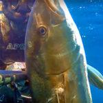 Video Pesca Sub: una Coppia di Grosse Ricciole all'Aspetto