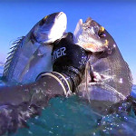 Video Pescasub: il Branco e la Coppiola di Orate nel Torbido