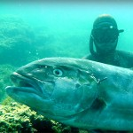Video Pescasub: la Grossa Ricciola appare mentre il Sub pesca in tana (32 kg)