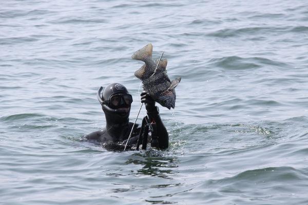 Un loro negro (Oplegnathus insignis) appena catturato da Gospic (foto V. Prokic)