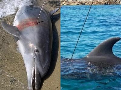 """Delfini """"sparati"""" con fucile sub, ma i Pescasub non c'entrano."""