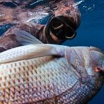 La pesca ricreativa secondo PD e FIPO: Gratis ma non per i Pescasub!