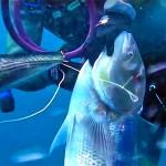 Video Pescasub: il Grosso Dentice sorpreso in Caduta (8,7 kg)