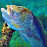 Video Pesca Sub: il Grosso Dentice Addormentato nella Posidonia (10 kg)