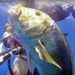 Video Pescasub: il Grosso Dentice in Caduta (7 kg)