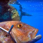 Video Pesca Sub: un Grosso Dentice Molto (Troppo!) Curioso