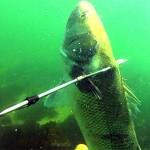 Video Pescasub: a Caccia di Grosse Spigole con il Fiocinone alla Francese
