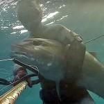 Video Pescasub: la Ricciolona sensibile al Richiamo (40 kg)