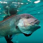 Video Pescasub: il Veloce Attacco del Grosso Dentice Corazziere (10,3 kg)