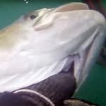 Video Pescasub: La Grande Leccia Fantasma nel Torbido