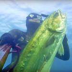 Video Pescasub: una Grossa Leccia nell'Acqua Velata (24 kg)