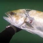 Video Pescasub: una Leccia sparata da Seduto!