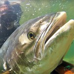 Video Pescasub: Una Grossa Leccia alla Carica
