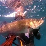 Video Pescasub: Scontro Frontale con la Spigolona (7,8 kg)
