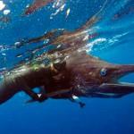 Viaggi di Pescasub: tre amici in Martinica e un Marlin da 183 kg