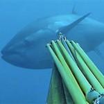 Tonno rosso: aumentano del 20% le quote di pesca