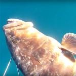 Video Pescasub: la Cernia in Caduta e il Mulinello inceppato