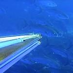 Video Pescasub: la Coppiola di Ricciole che Sfuma per un Soffio