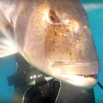 Video Pescasub: il Dentice Curioso sul Cappello della Secca