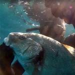 Video Pescasub: un'Ombrina tra Sabbia e Posidonia (7,5 kg)