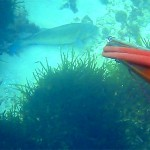 Video Pescasub: la Spigolona Immobile e la Padella Incredibile