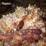 La pesca del polpo (Octopus Vulgaris)